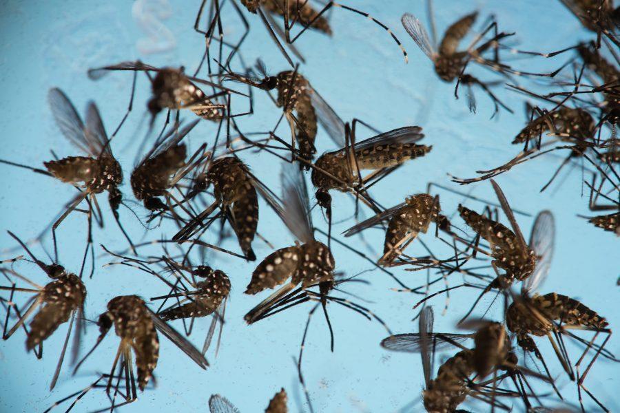 Det ändrade klimatet kan med tiden få myggor av arten Aedes aegypti att etablera sig i Europa.