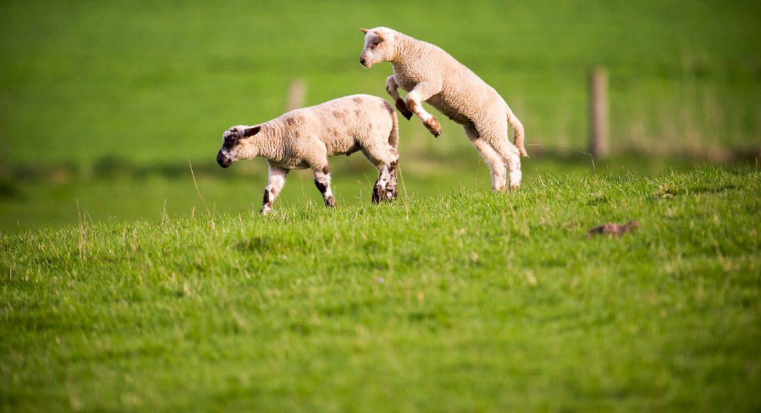 Glada lamm kan symbolisera våren och ljuset som kommer tillbaka, lika väl som den gamla historien i Torahn.