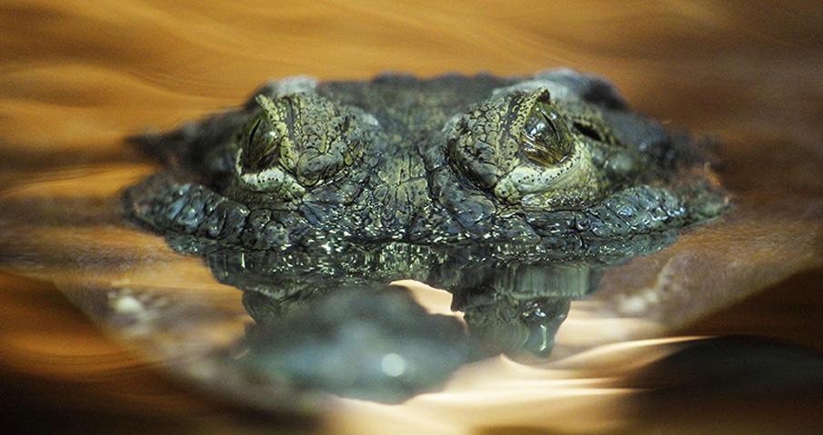 Krokodiltårar betyder falska tårar, men det finns ingen sådan avsikt med de salta droppar som rinner ur krokodilens ögon ibland.