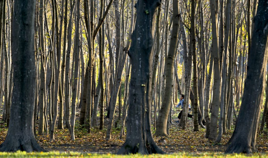 Rumäniens skogar hotas av illegal avverkning.