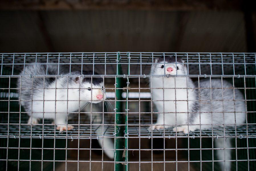 Att hålla minkar i små gallerburar är helt lagligt i Sverige.