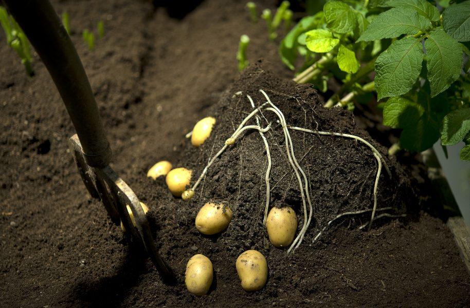 Föreningen Närjord vill värva så många potatisodlare som möjligt, både lokalt och i Sverige.