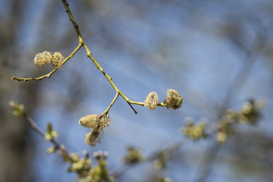 """Att dokumentera hur sälgen blommar är ett av vårtecknen som ingår i """"Vårkollen""""."""