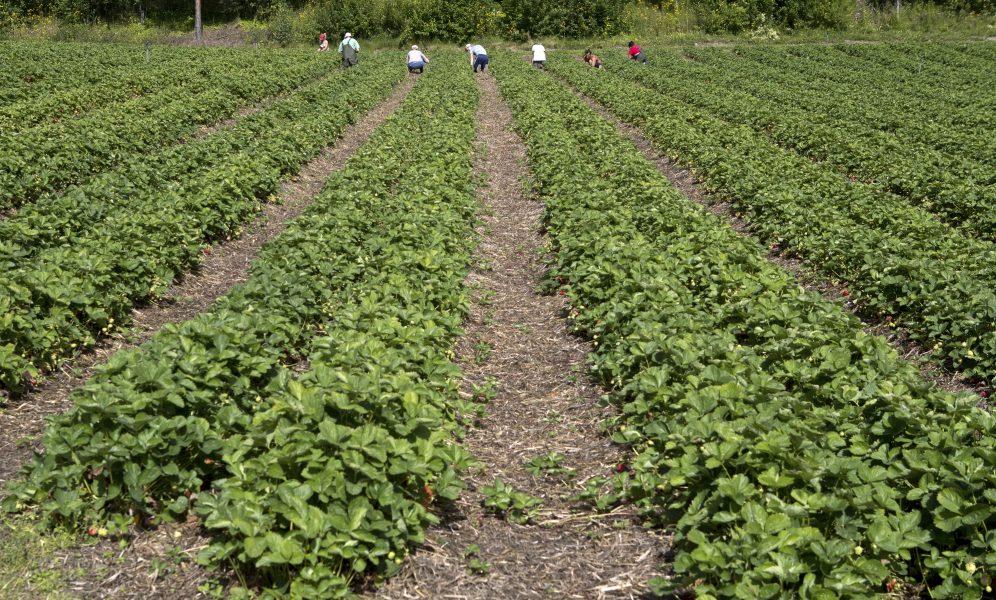 Vem ska skörda årets jordgubbar? Coronakrisenhar ställt frågan om schyssta villkor inom jordbruket på sin spets.