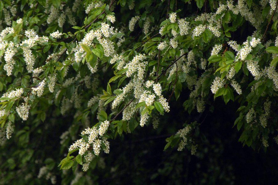 Två år i rad nu har häggen redan börjat blomma 1 maj i delar av Götaland och Svealand.
