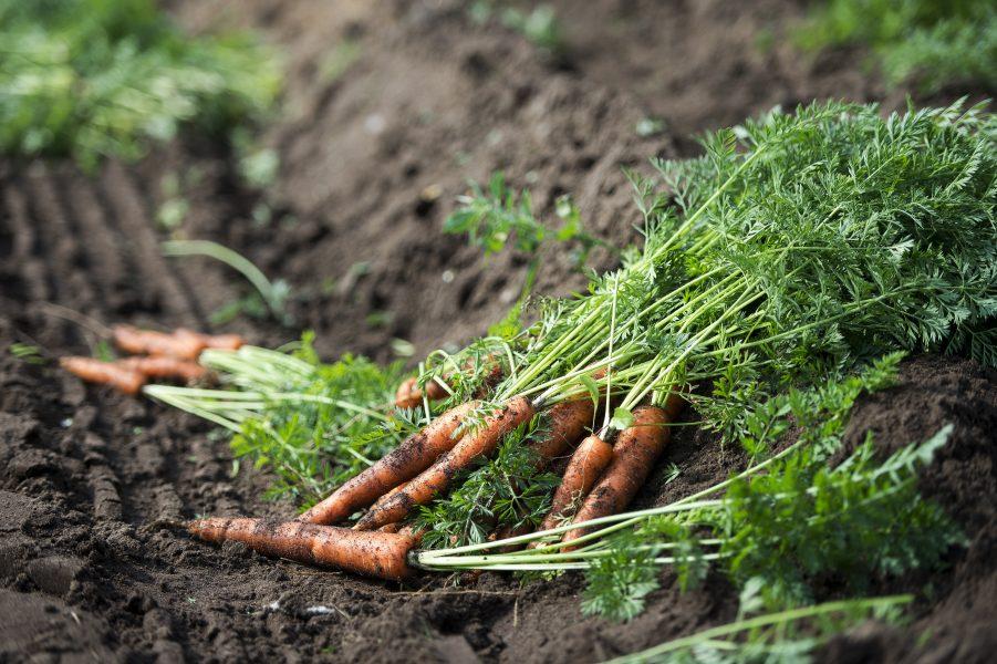Sverige bedöms i dag vara självförsörjande på tre livsmedel –morötter, socker och spannmål – men på grund av att lantbruket och livsmedelsproduktionen är beroende av import av viktiga insatsvaror som exempelvis drivmedel och gödningsmedel är graden av självförsörjning i praktiken noll.