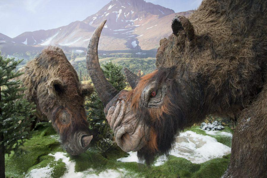 """Så här kunde den ullhåriga noshörningen ha sett ut, enligt utställningen """"Mammut"""" som visades på Universeum i Göteborg 2014."""