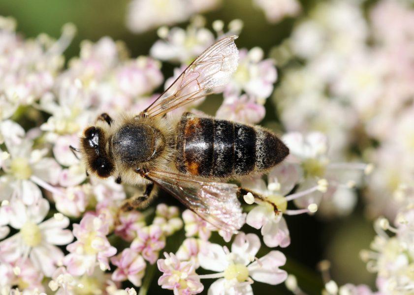 """""""Domesticering av honungsbiet skapar inte enbart ett tambi men riskerar samtidigt också att utrota det vilda honungsbiet"""" skriver debattören Hannes Bonhoff."""