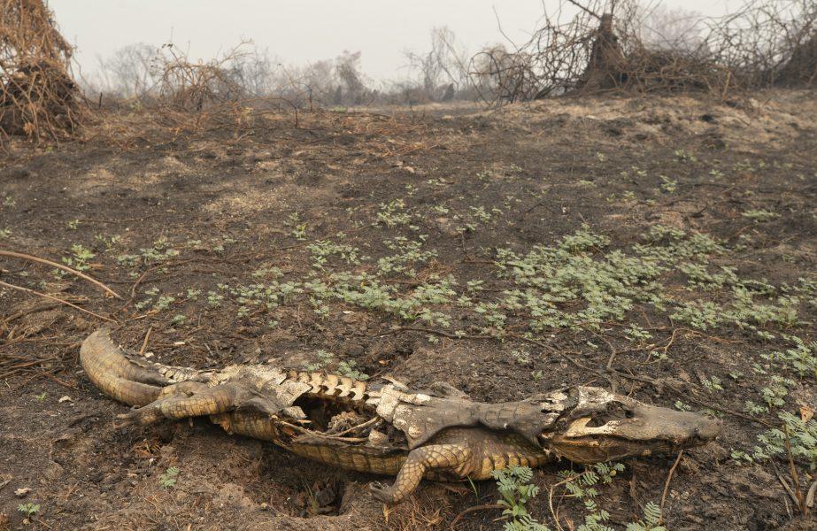 Resterna av en alligator efter att bränder svept över det brasilianska våtmarksområdet Pantanal.