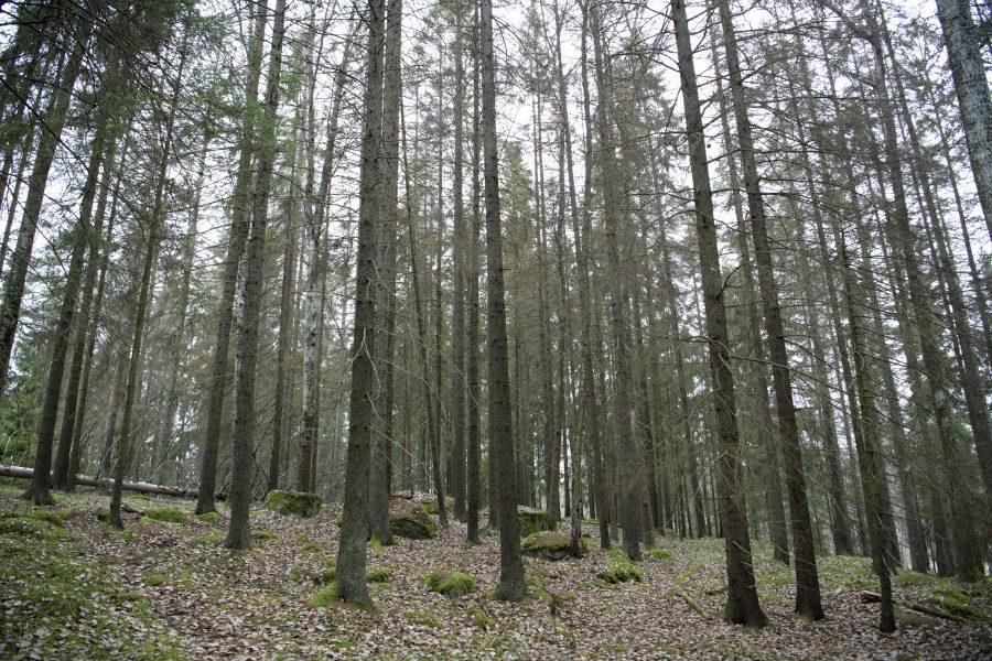 Granbarkborren trivs där träden försvagats av torka, enligt Skogsstyrelsens.