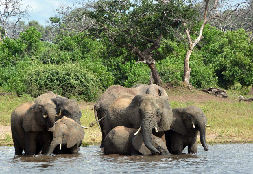Hoten mot elefanterna i Botswana har ökat sedan landet fick en ny president för två år sedan.