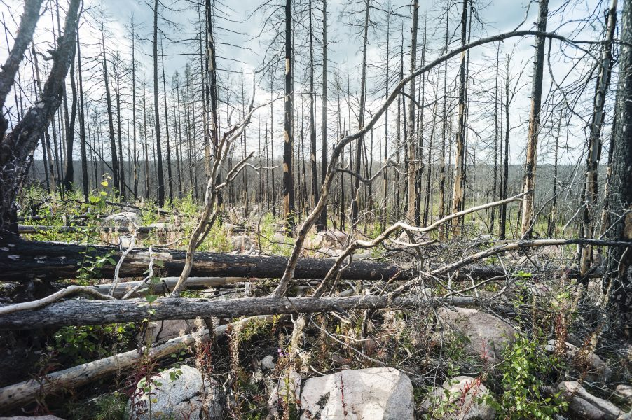 Växtligheten tog snabbt fart efter branden i Västmanland 2014.