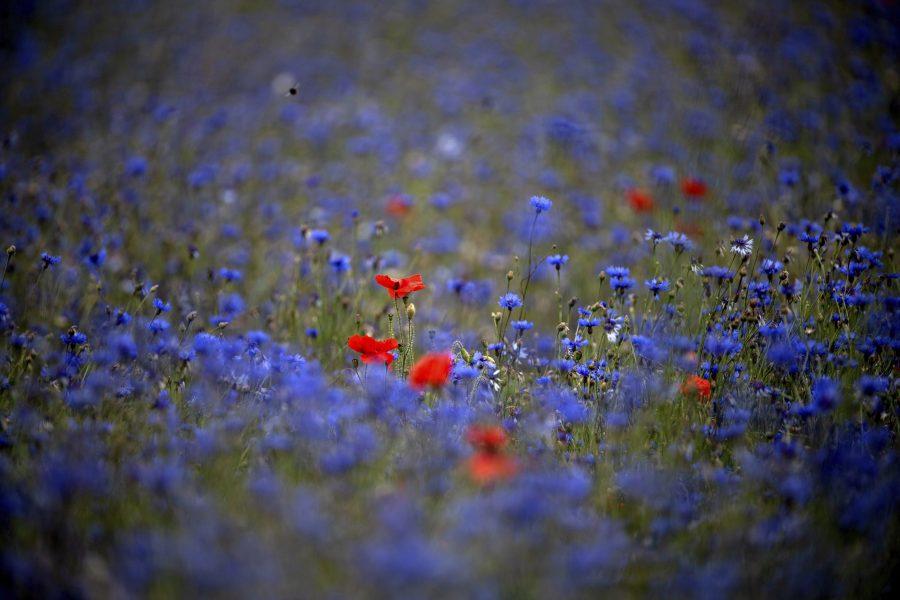 Den vackra blåklinten betraktas som ett ogräs och kan ge problem för yrkesodlare.