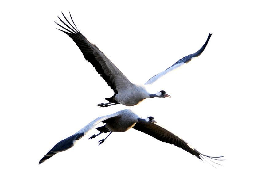 En trana är två meter mellan vingspetsarna.