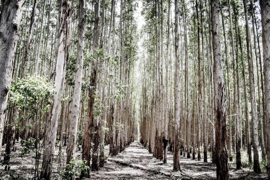För att kompensera för rika länders och stora bolags klimatutsläpp krävs det enorma arealer skogsplantager.