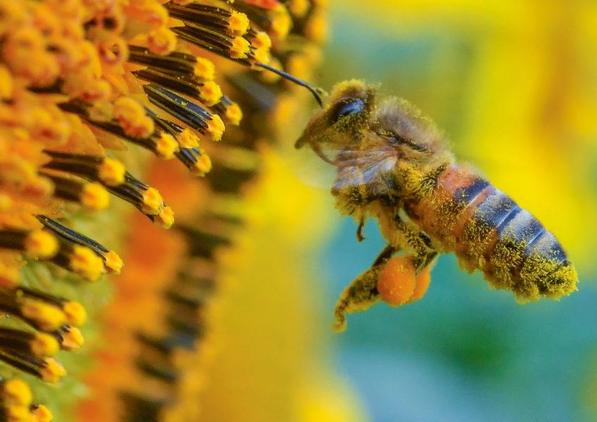 Det finns ungefär 280 olika arter av bin i Sverige, varav en tredjedel beskrivs som hotade – eller på väg att bli hotade.