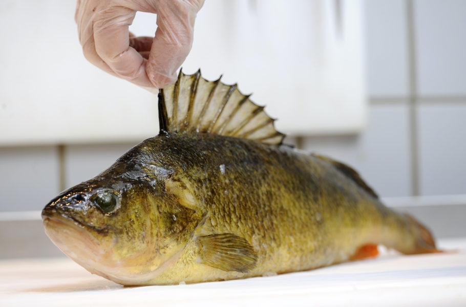 Abborrarna som fiskas i Norrlands insjöar har ökat i vikt de senaste 40 åren.