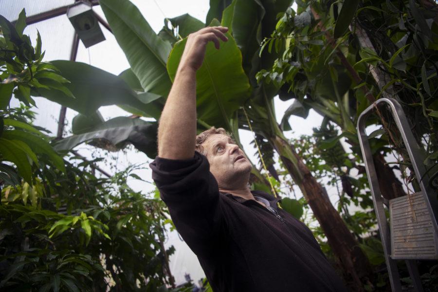 Björn Oliviusson, biolog och doktorand på Tekniska högskolan (KTH), odlar exotiska frukter i Sverige.